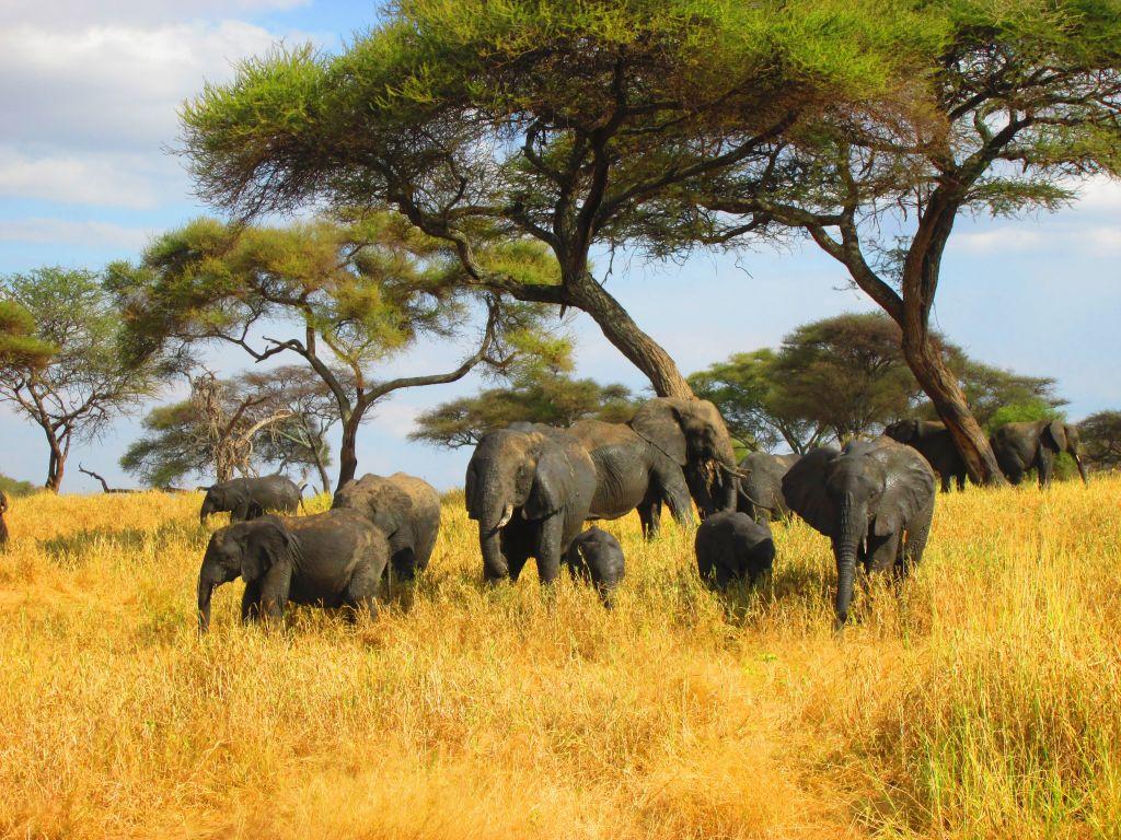 Elefanten in Tansania