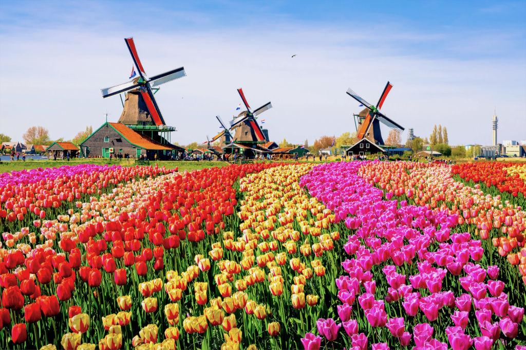 Champs de tulipes et moulins à vent aux Pays-Bas