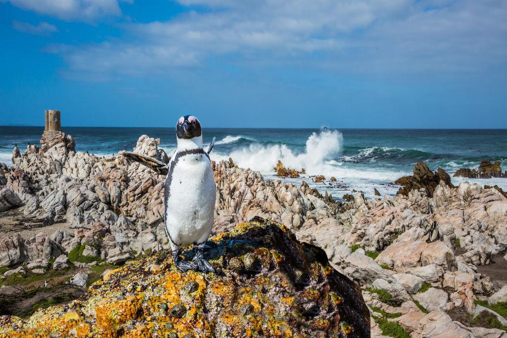 Pinguin am Boulders Beach in Südafrika
