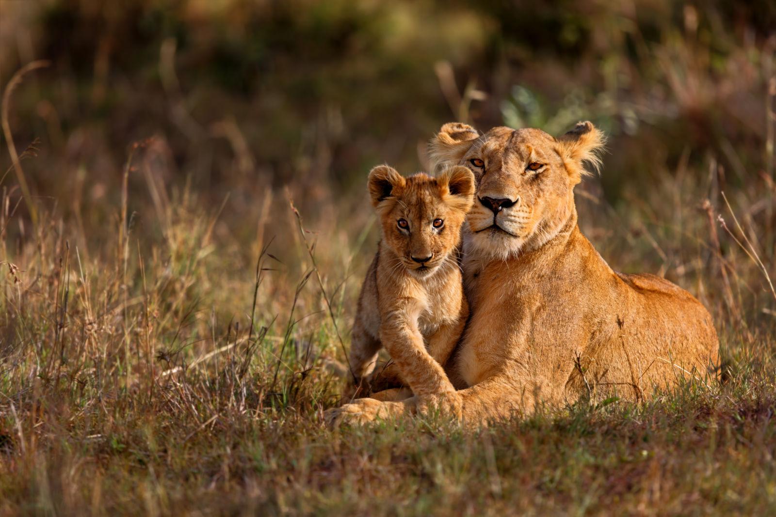 Löwin mit ihrem Jungen in Kenya