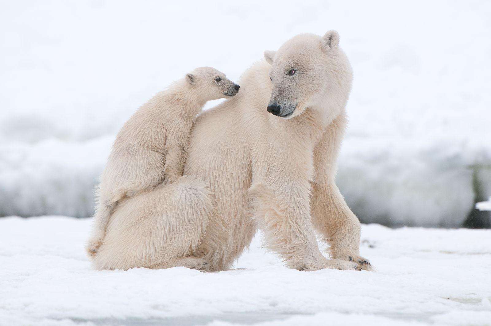 Animal, Bear, Europe