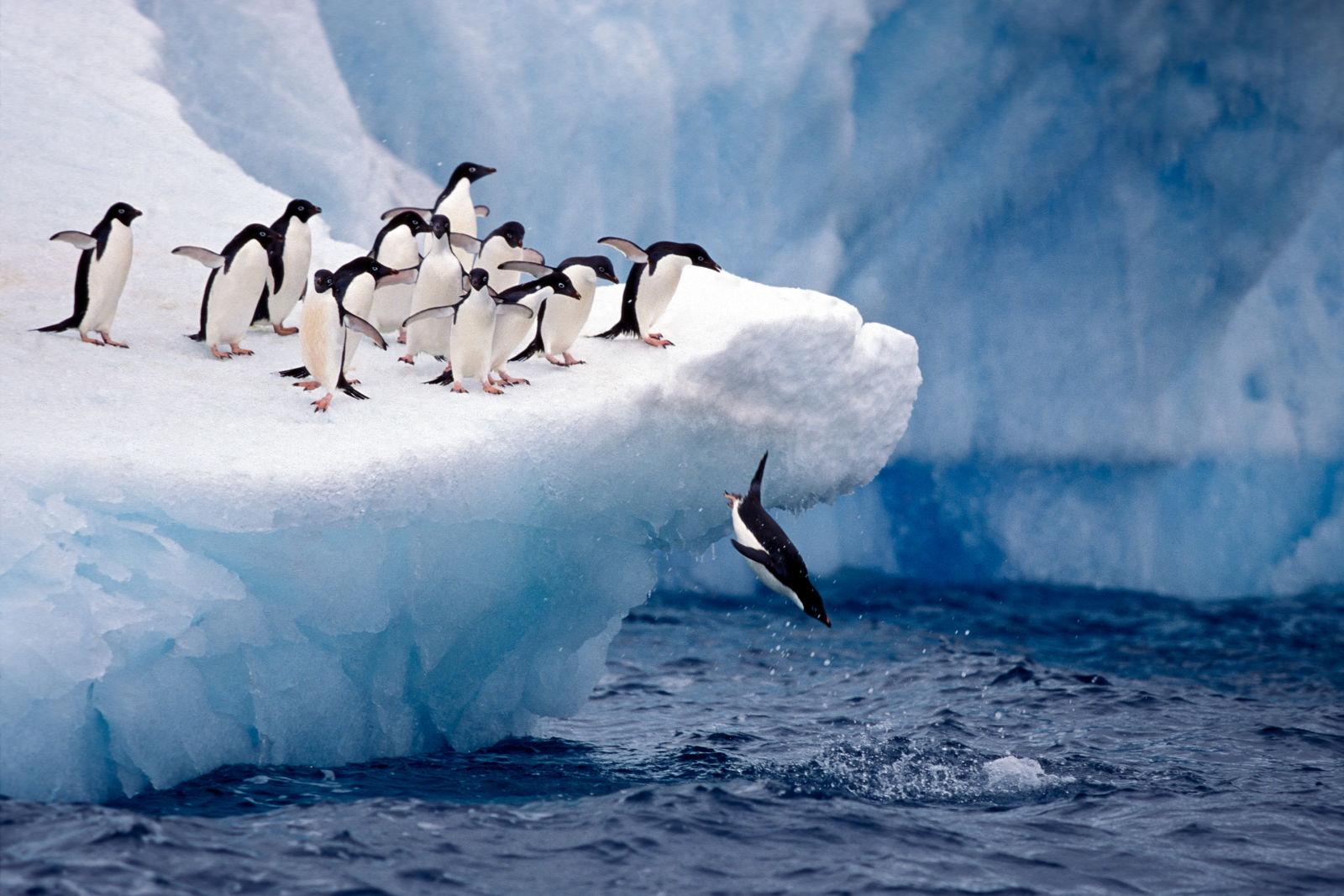 Adelie Penguin, Antarctica, Ice