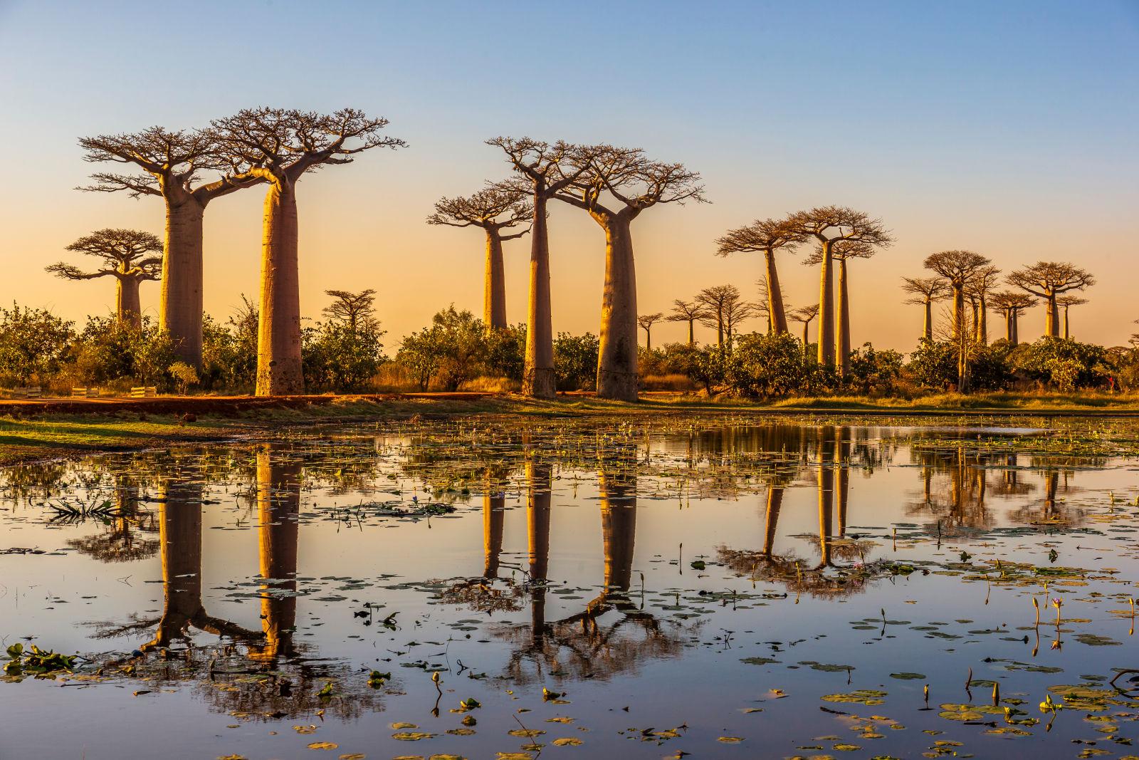 Baobab Bäume in Madagaskar bei Sonnenaufgang