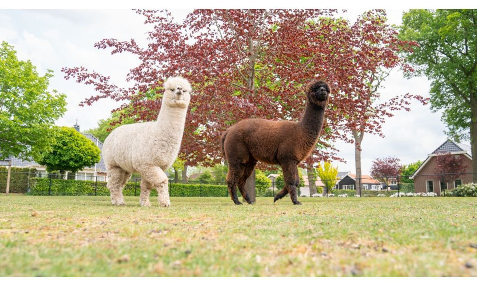 Twee alpaca's in de tuin bij dit natuurhuisje in Drenthe