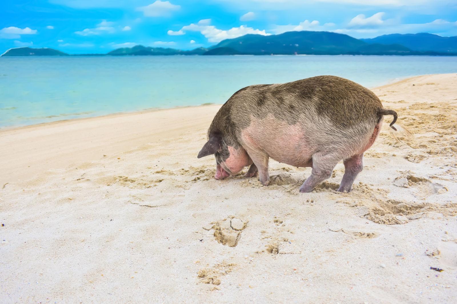 Koh Madsum, pig, Pig on the beach