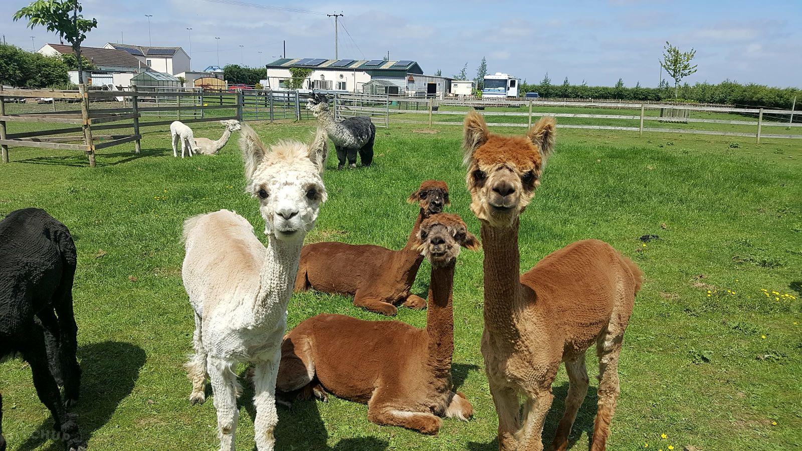 Alpaca, alpacas, Marshland Alpacas Glamping Lodge