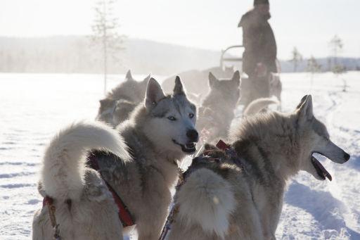 Wildnis intensiv: Arktisches Huskyabenteuer im schwedischen Lappland