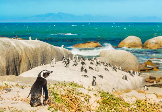 Pinguine an einem Strand in Südafrika