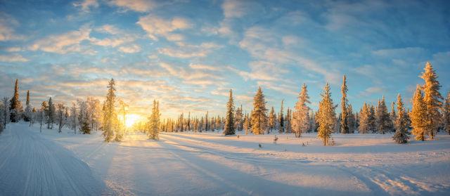 Conifer, Europe, Finland