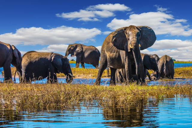 Elefanten im Okavango Delta in Botswana
