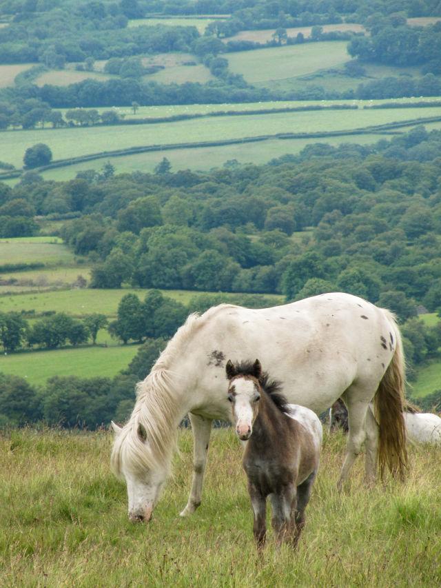 Pferde in einem Feld in Wales