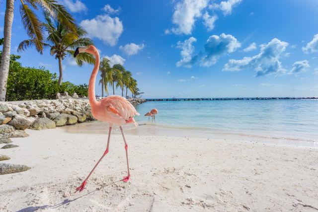 Flamingo op het strand op Aruba