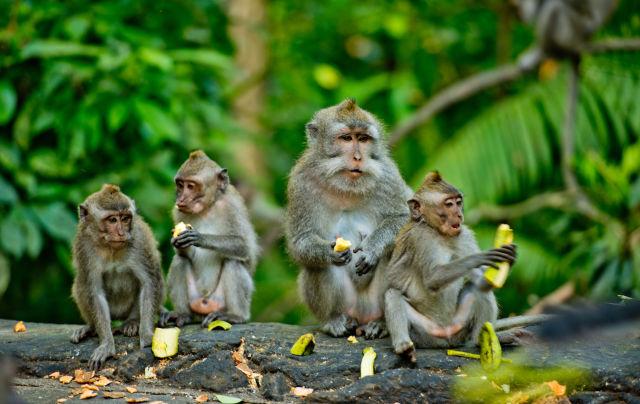 Affen, Bali, Indonesien
